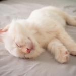 眠っている白猫